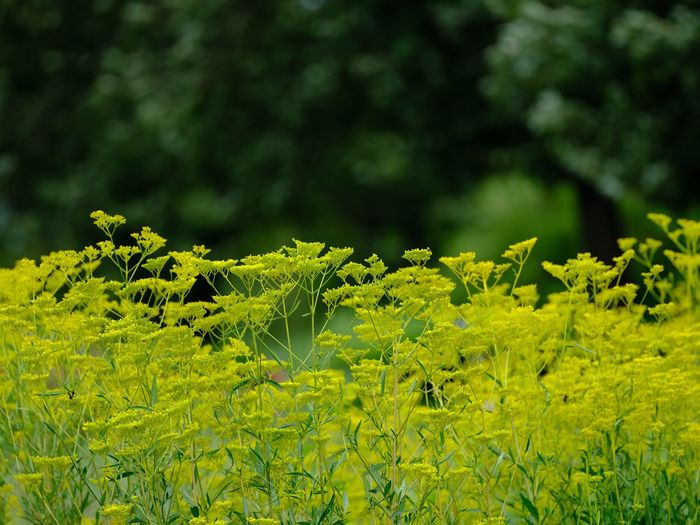 Patrinia Scabiosifolia Plant Green Color Growth Beauty In Nature Focus On Foreground Plant Part Leaf No People Close-up Sunlight Outdoors Yellow Vulnerability