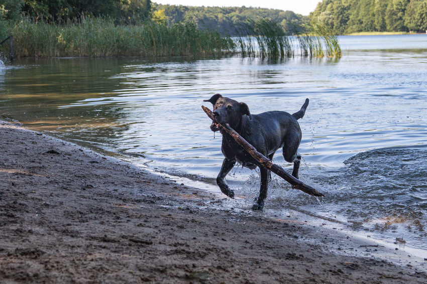 Animal Animal Themes Beach Beach For Dogs Canine Day Dog Domestic Domestic Animals Lake Mammal Motion Mouth Open Nature No People One Animal Outdoors Pets Running Side View Vertebrate Water