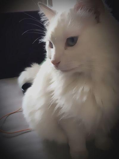 Pets Corner Cat♡ Cat Lovers Cat Catsofinstagram Whitecat Whitecats Albinocat Catstar #cat #catnap #catoftheday #catpic #catlovers #catsconnect #catinstagram #catsofinstagram #gato #gatinhos #gatto #garfield #petstagram #premierpet #photooftheday #petsofinstagram #picoftheday #petlovers #instabicho #ilovecats #ilovemypet #issovici