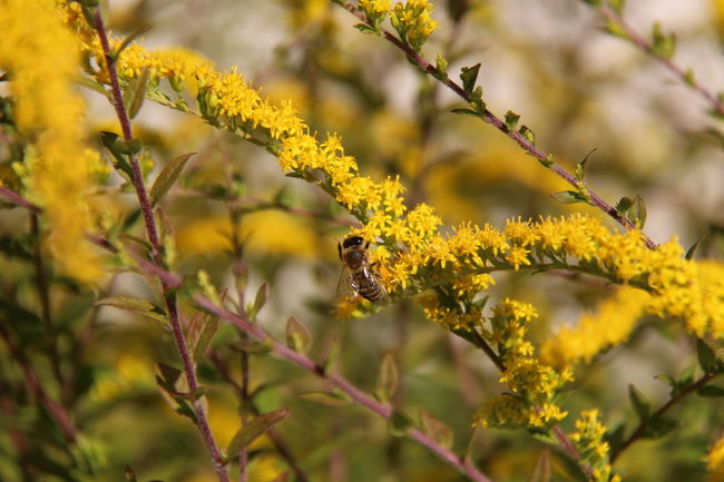 Animal Themes Animals In The Wild Beauty In Nature Blossom Botany Branch Close-up Flower Flower Head Focus On Foreground Fragility Freshness Growth In Bloom Insect Nature One Animal Petal Plant Pollination Selective Focus Springtime Stem Wildlife Yellow