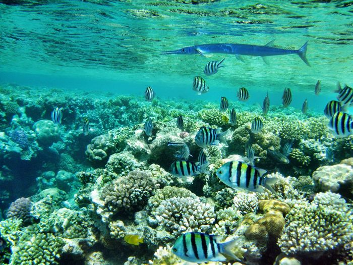 Abundance Backgrounds Beauty In Nature Blue Coral Coral Reef Corals Day Diving Egypt Elevated View Fish Full Frame Growth Natural Pattern Nature No People Outdoors Rippled School Of Fish Snorkeling Swimming Tranquility Underwater Water
