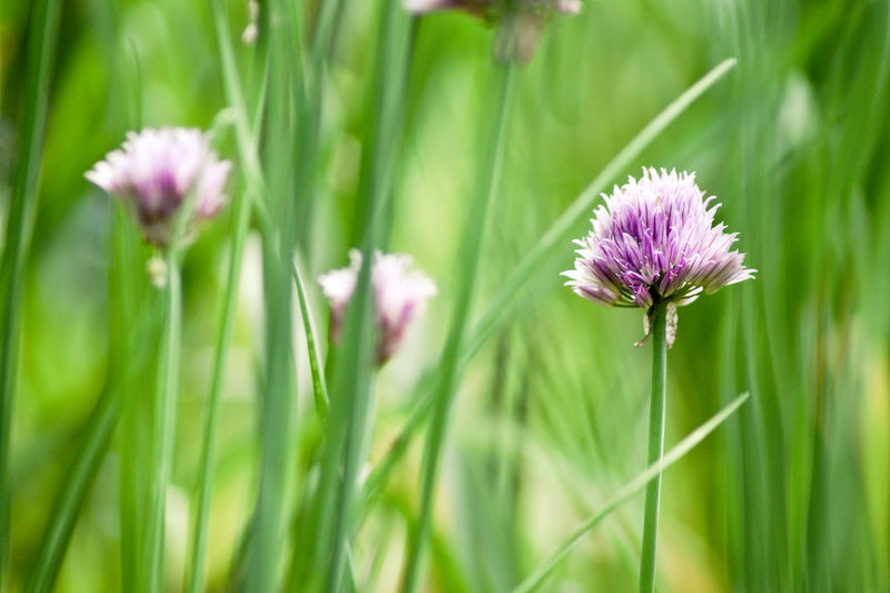Close-up of allium blooming outdoors