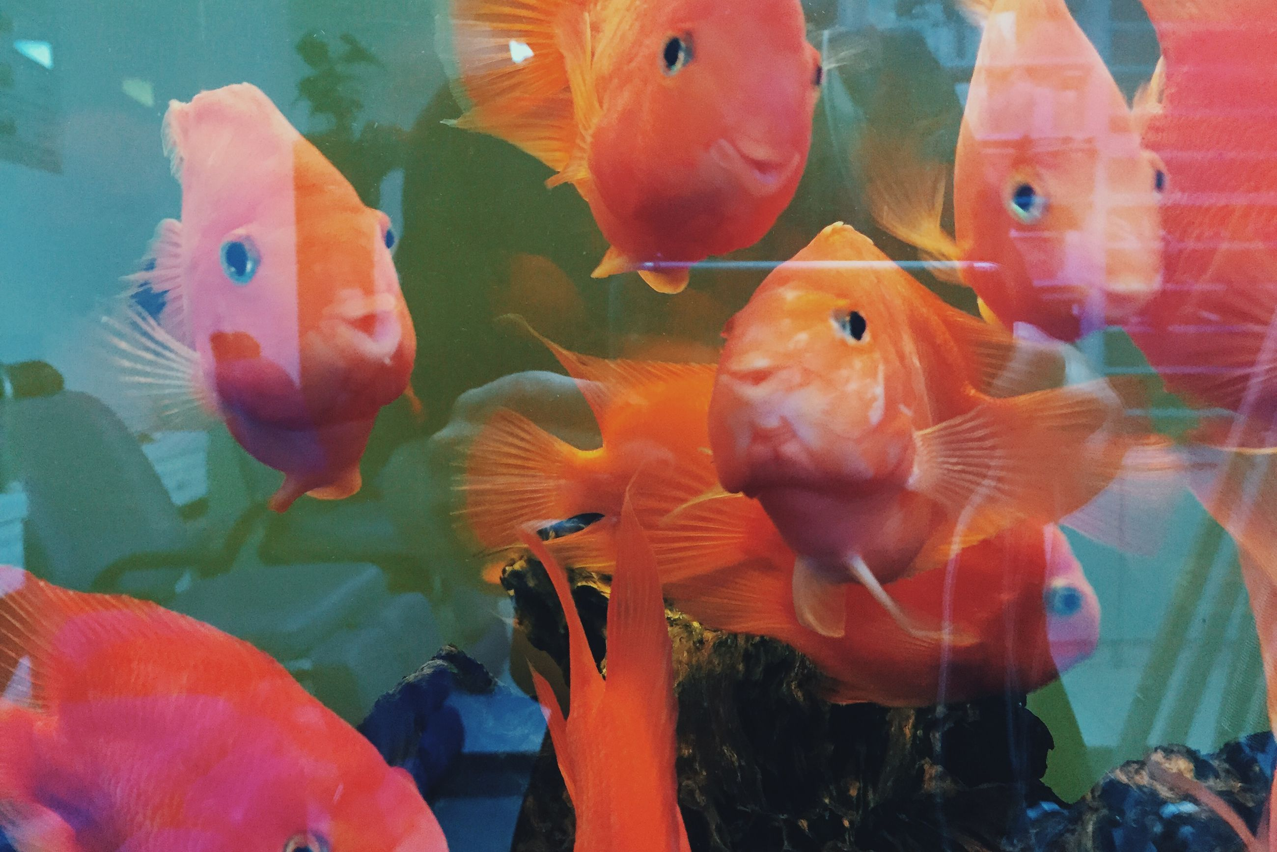 animal themes, animals in the wild, wildlife, bird, orange color, swimming, fish, water, nature, close-up, flamingo, beauty in nature, underwater, two animals, multi colored, medium group of animals, animals in captivity, sea life, fish tank