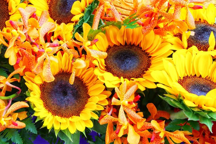 Flower Head Flower Backgrounds Full Frame Multi Colored Sunflower Yellow Petal Pollen Close-up