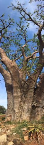 Tree Tree Trunk Branch No People Blue Sky Baobab