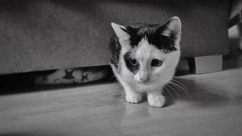 Domestic Cat Pets Domestic Animals Looking At Camera Indoors  One Animal Animal Themes No People Black And White Mobile Photography B&W Portrait Love❤ BrianArlt Animal Wildlife Mobilephotography