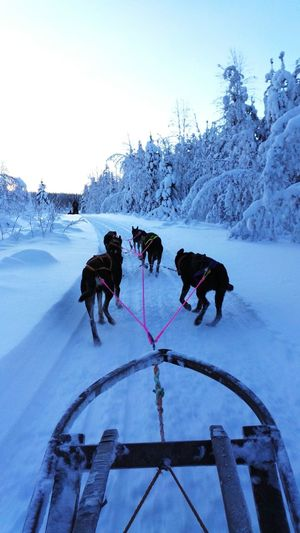 Sleddog Winter Cold Temperature Snow Tree Landscape Animal Themes Outdoors Nature Lapland Sky Nature Finalnd Coldweather Cold Winter ❄⛄ Multi Colored Dogwalk Dog Sled Workingdog