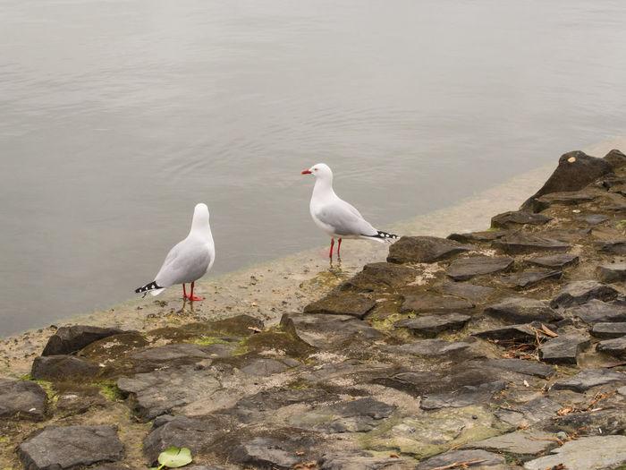 Seagulls perching on lagoon shore