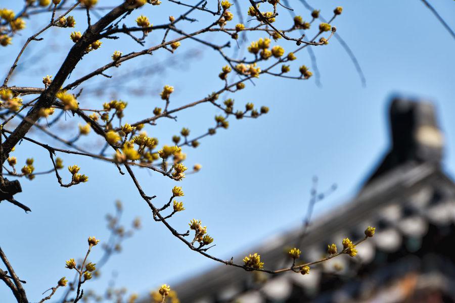 Beauty In Nature Close-up Cornus Cornus Flower Cornus Fruit Day Flower Low Angle View Nature Sky Tree