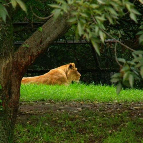 Zoologicodechapultepec Mexicodf Lion Leon animal beautiful mefascinan green mypicture pic cute instacute