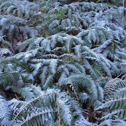 IPS2016White Fern Silver Fern Frost Frosty Frosted Frosty Leaves
