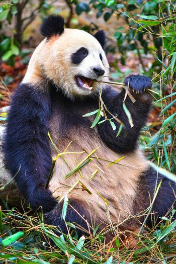 Giant panda eating bamboo in China One Animal Mammal Animal Animal Themes Animal Wildlife Animals In The Wild Panda - Animal Plant Vertebrate Day Bear No People Nature Eating Sitting Bamboo - Plant Outdoors Chengdu Panda Giant China