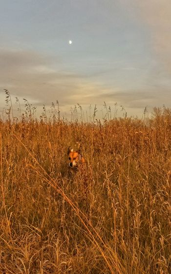My jack russel Zeus playing in tall prarie grass. Moon came out to say hi? Taking Photos Enjoying Life Prarie Cheese!