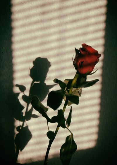 Close-Up Of Red Rose With Shadow On Wall