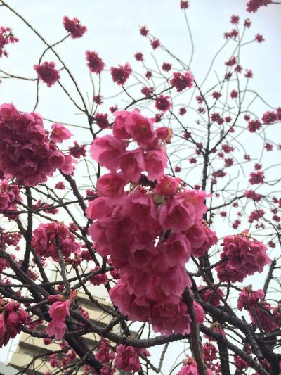 Flower Pink Color Growth Nature Low Angle View Freshness Beauty In Nature Fragility Tree No People Petal Sky Day Close-up Branch Outdoors Blooming Flower Head Plum Blossom Nofilter 3/5, 2017🌤 Spring come here!