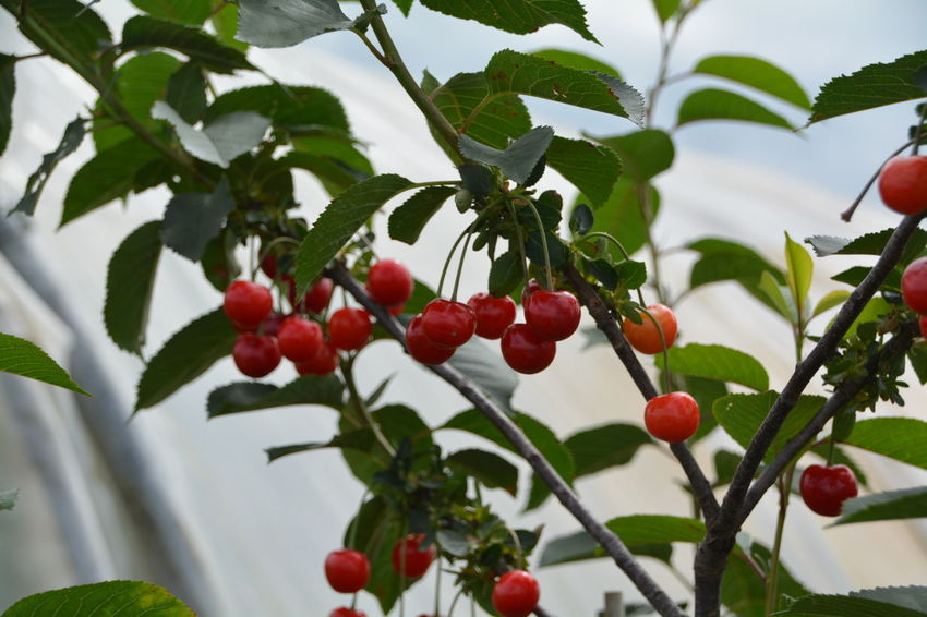 Berry Berry Fruit Branch Bunch Cherry Close-up Day Focus On Foreground Food Freshness Fruit Green Color Growing Growth Healthy Eating Juicy Leaf Nature No People Organic Outdoors Plant Red Ripe Tree