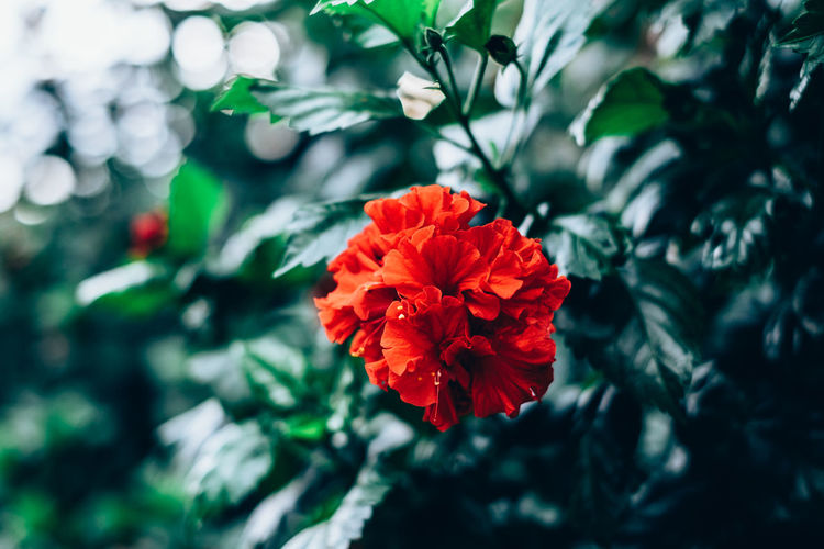red hibiscus Backgrounds Beauty Beauty In Nature Blooming Bokeh Close-up Contrast Copy Space Flower Flower Head Fragility Freshness Gardening Green Growth Gumamela Hibiscus Light And Shadow Nature Outdoors Plant Red Selective Focus Tropical Foliage My Best Photo Springtime Decadence