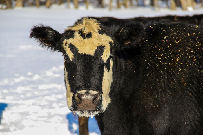 Agriculture Animal Black Black Angus Canon60d Canonphotography Cattle Cow Domestic Animals Farm Livestock Ranch Snow Winter
