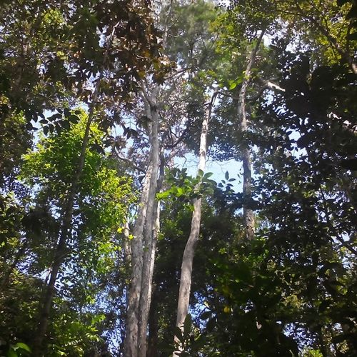 Trees of Borneo Borneo Beautifulforests Mtsantubong Sarawaknature Millionyearoldtrees