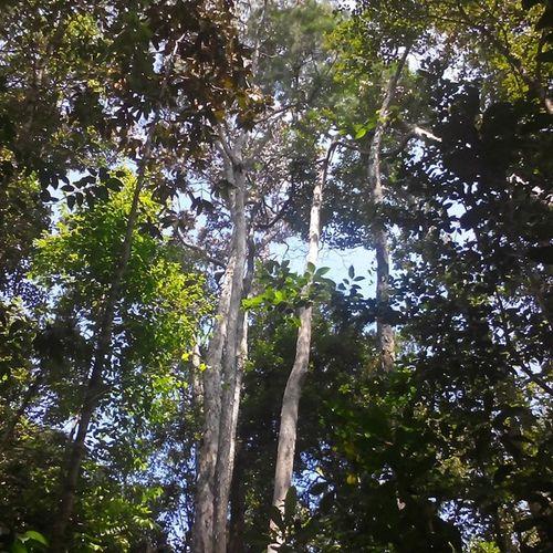 Trees of Borneo Borneo Beautifulforests Mtsantubong Sarawaknature Millionyearoldtrees