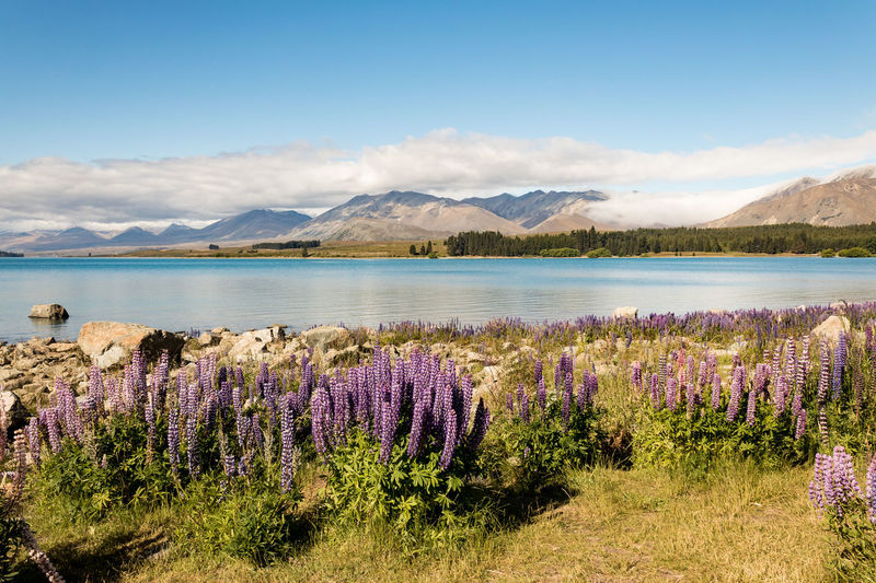 Lupins, Lake Wanaka and Mountains New Zealand Scenery Lupin Wanaka Beauty In Nature Scenics - Nature Mountain Sky Tranquil Scene Tranquility Water Cloud - Sky Plant Mountain Range Flower Flowering Plant Nature Growth Lake No People Day Non-urban Scene Land Outdoors Purple