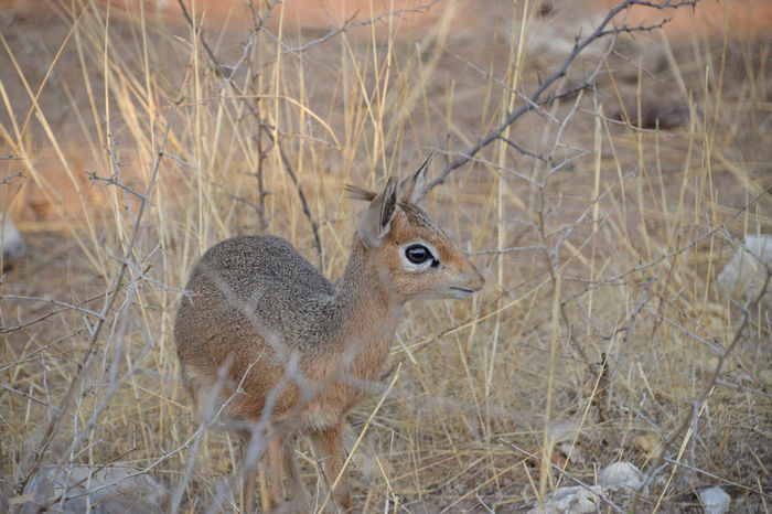 Dik Dik in Etosha National Park Namibia Animal Animal Themes Animal Wildlife Animals In The Wild Arid Climate Day Dik Dik Dry Etosha National Park Field Grass Herbivorous Land Looking Mammal Nature No People One Animal Outdoors Plant Standing