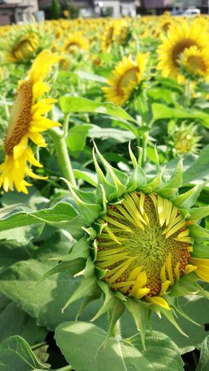 太陽の花 ひまわり Flower Porn Yellowmagic Enjoying The Sun