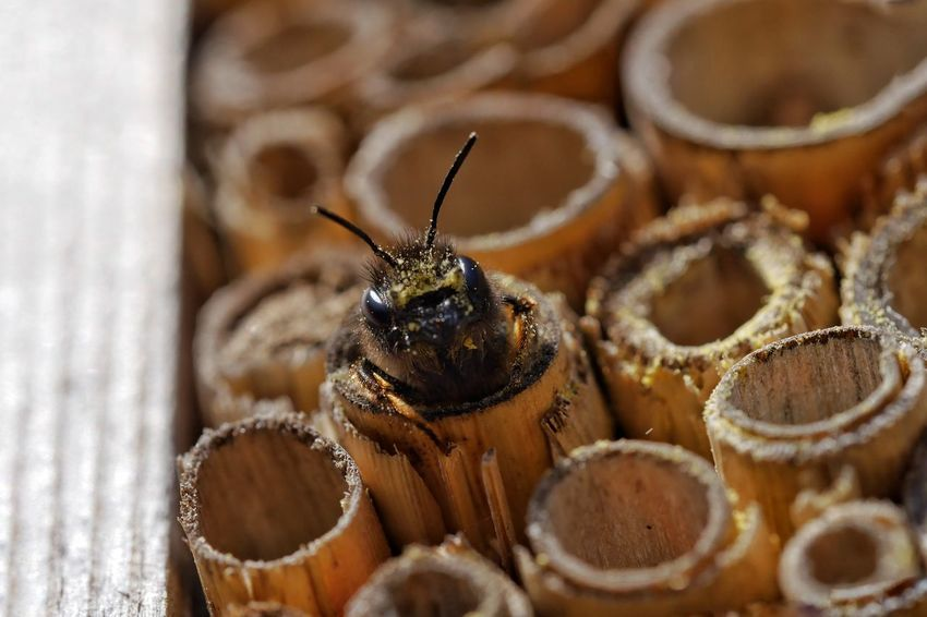 Bee HoneyBee Wildbee Animals Insects  Nature Save The Nature Save The Bees Insect Hotel Nature_collection Nature On Your Doorstep Garden Macro Macro_collection Taking Photos Outdoors From My Point Of View Fragility Animal Themes Close Up Closeup Perspectives Pivotal Ideas Ice Age