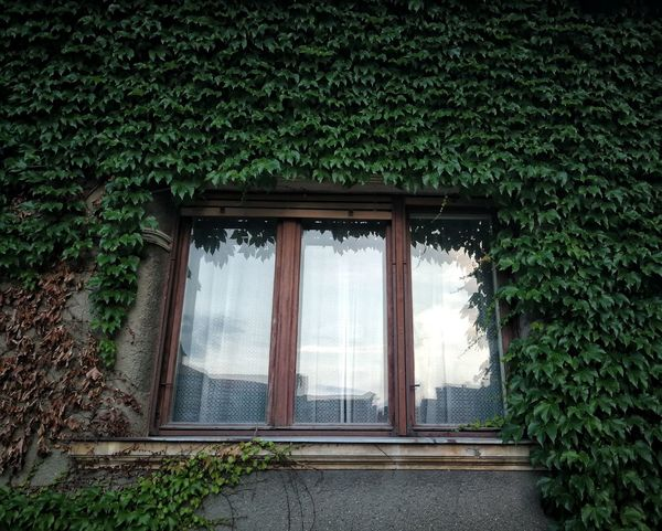 Old but gold Misteriouswindow Reflection City Life OldButGold Frames Windowframe Tree Ivy Window Architecture Building Exterior Built Structure Plant Sky Green Color Growing