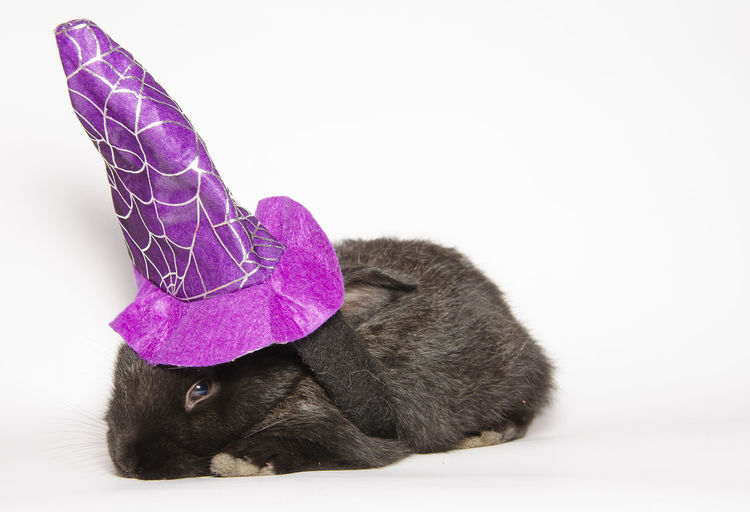 Black baby bunny with halloween witch hat Halloween Witch Hat Animal Animal Themes Animal Wildlife Black Bunny  Close-up Crazy Animals  Cute Domestic Domestic Animals Funny Animal Halloween Hat Indoors  Mammal One Animal Pets Purple Rabbit Studio Shot Vertebrate Violet White Background Witch
