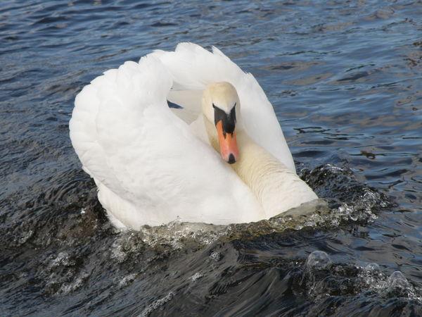 No People Swan Water Bird