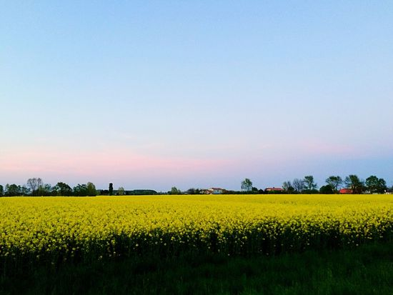 EyeEm Diversity Field Beauty In Nature Nature Yellow Tranquility No People
