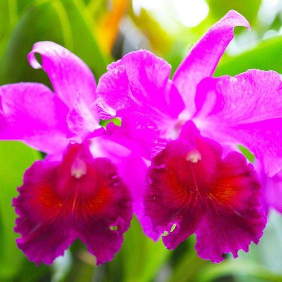 Cattleya flowers on mom's garden. Orchids Garden Asiangarden Tropical
