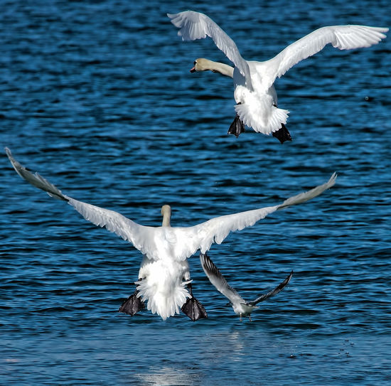 Rear view of birds flying over rippled water