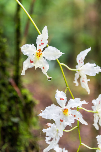 Beautiful small white orchid flowers in a cloud forest near Manizales, Colombia Colombia Green Manizales Nature Orchid Orchid Blossoms Orchids Travel Beauty In Nature Caldas Closeup Coffee Triangle Colorful Eje Cafetero Flower Flower Head Forest Orchidaceae South America Tourism Travel Destinations