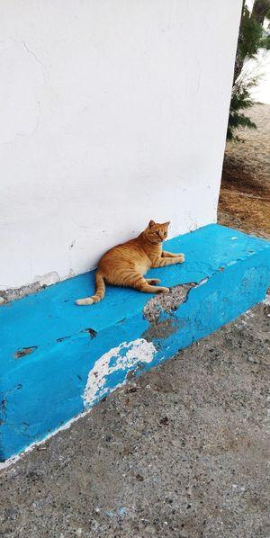 OnePlus 5t 3XSPUnity Greece île De Milos Cat Cat♡ Cats Cat Lovers Greece Cat Reptile Water Iguana Animal Themes Leopard Big Cat Cat Family Lion - Feline Roaring