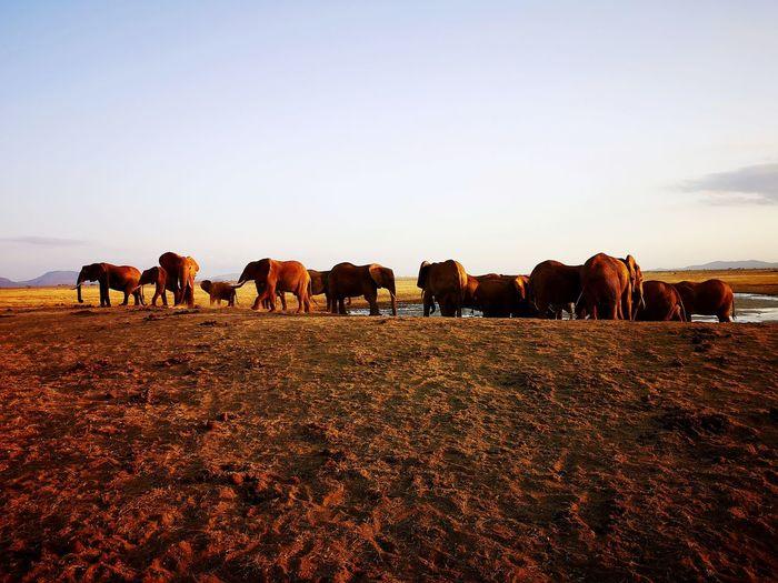 Elephants in savana.