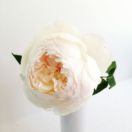 The beauty of Windermere. David Austin Roses Windermere Rose White Rose Cream Rose Single Flower