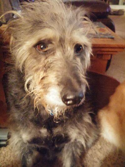 Dog Love My Boy Geoffery Scruffy Dog Brown Eyes Black Gray White Hair Sweet Tender Soul Eyemphotography