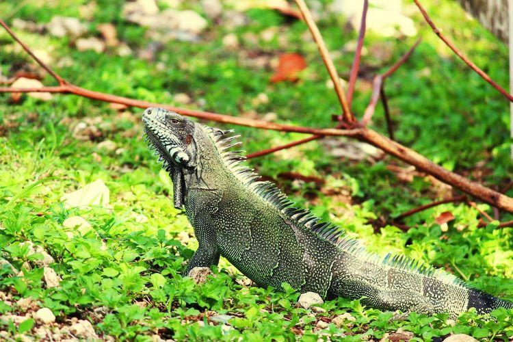Guadeloupe Nature EyeEm Nature Lover Iguana