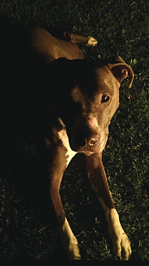 My other half Animal Themes High Angle View Lookingup Outdoors Photography Pitbull Bullybreed Dog PerroBonfireeLoveeDomestic Animalss Diversity Bestfriend Puppy Love Beautiful Model Status Happy