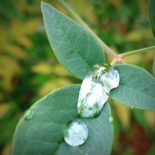 drops of shimmering dew