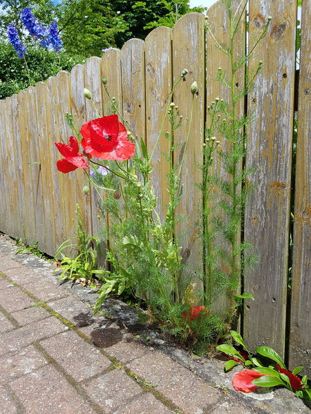 Day Growth Red Outdoors Nature No People Plant Beauty In Nature Grass Tree Fragility Flower Close-up Ladyphotographerofthemonth No Edit/no Filter Growth In Nature Blooming Season Flowerful Flower Power In Full Bloom Wooden Fence Beauty In Nature Sunlight Summer Poppies  EyeEm Selects