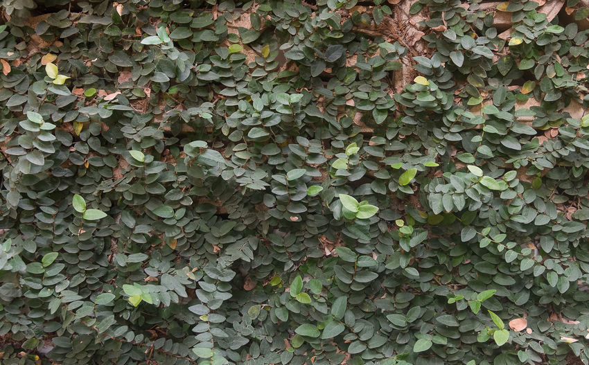 Full frame shot of ivy growing on ground