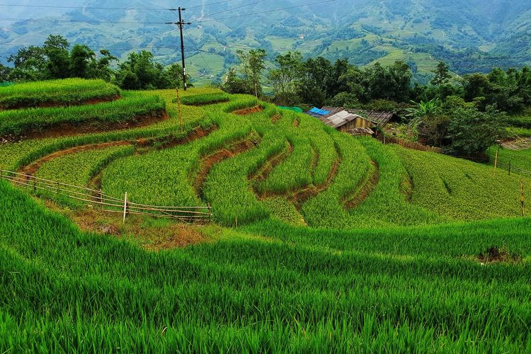 Rice Terrace in Vietnam Rice Terrace Countryside Prepared Food Hazy  Electricity Tower Yellow Line Calm Country House Farmland Lakeside Agricultural Field Cultivated Land Grassland Growing Rice Paddy White Line Green Greenery Plant Life Plough Oilseed Rape First Eyeem Photo