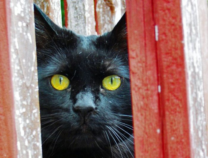 Ichi One Animal Looking At Camera Yellow Eyes Black Color Feline Domestic Cat Portrait Black Cats Coolest Cat Ever