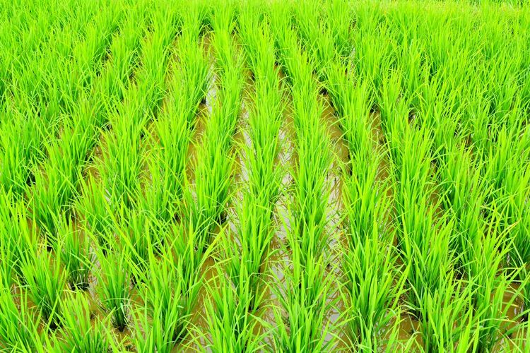 Color Palette EyeEm Best Shots August Showcase Rice Riceworld Rice Planting Rice Terraces Ricefields Rice Field