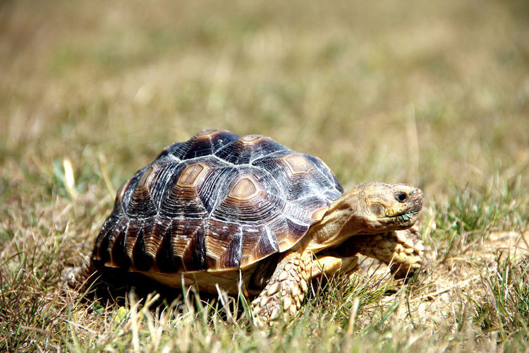 Sulcata Animal Animal Shell Animal Themes Animal Wildlife Animals In The Wild Close-up Day Giant Turtle Grass Land Nature No People One Animal Plant Reptile Selective Focus Shell Tortoise Tortoise Shell Turtle Turtle Baby Vertebrate