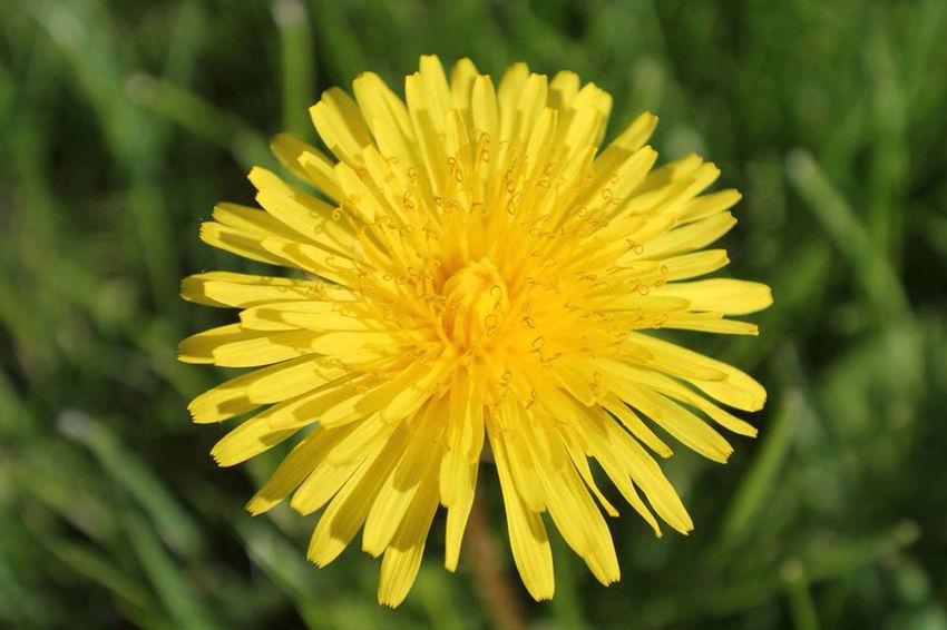 Dandelion Yellow Summer Belgium Noduwez Nature Garden Flowers Flower Flowerpower