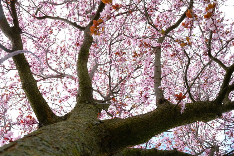 Low angle view of cherry tree against sky